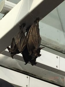 Bats on the London Eye