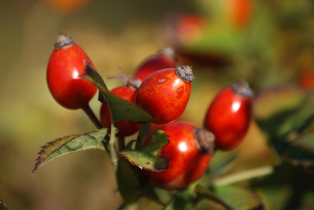 Rosehips contain galactolipds which help in joint care